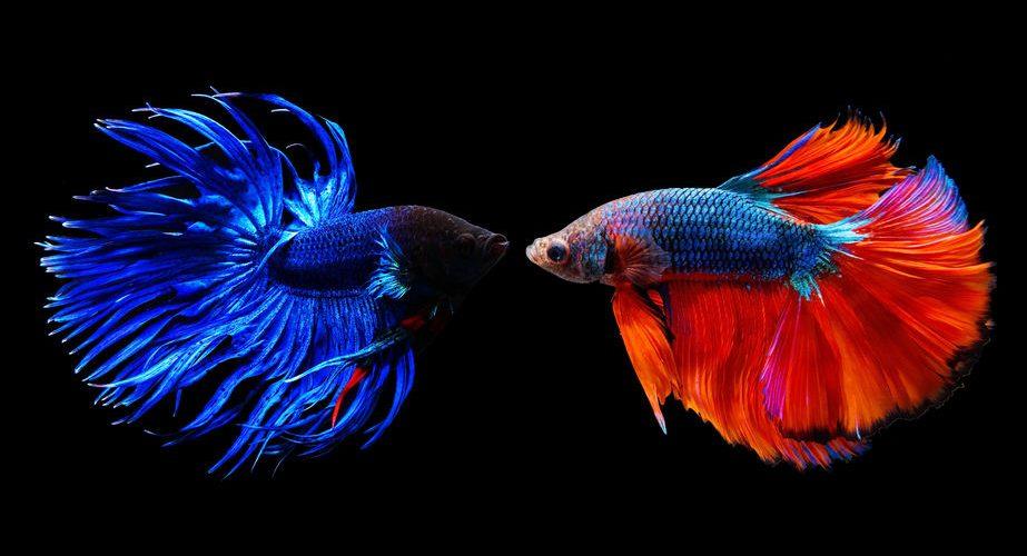 Meilleurs aquariums pour combattant